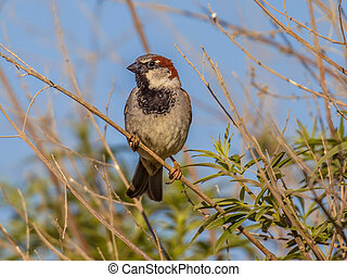 House sparrow subspecies biblicus is resident on Cyprus -...