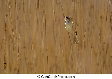 Singing Sedge warbler reed background - Singing Sedge...
