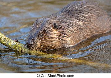 Eurasian beaver nibbling on a branch