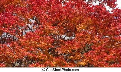 Painted maple tree - Close up autumn deep orange painted...