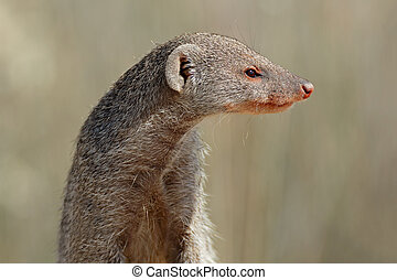 Banded mongoose portrait - Portrait of a banded mongoose...