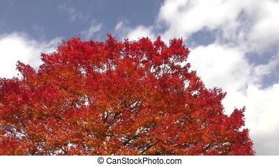 Painted maple tree - Autumn deep orange painted maple tree...