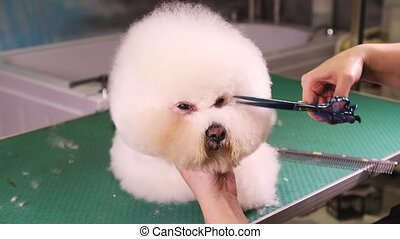 Bichon Frise dog grooming at pet salon - Groomer using...