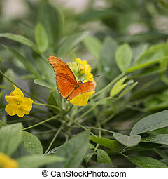 Beautiful Julia butterfly lepidoptra nymphalidae butterfly...