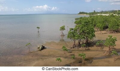 Mangrove trees - Seaside mangrove trees(Rhizophora...
