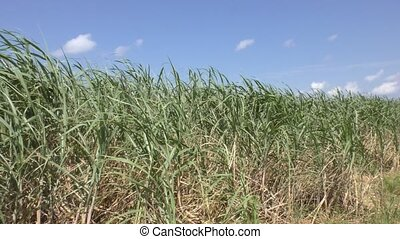 Green sugarcane field under blue sky in Ishigaki island