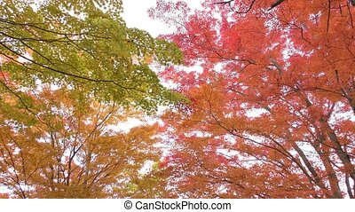 Colorful maple leaves - Colorful autumn maple leaves in...
