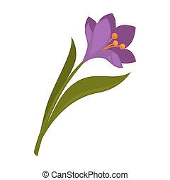 Spring violet crocus flower with green leaves isolated on...