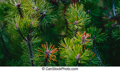 Fir tree branches Background - Background from green Fir...