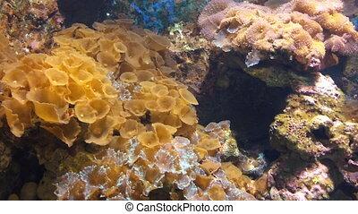 Coral in aquarium pan shot