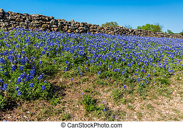 Rock Fence with Bluebonnets.