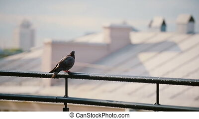 Birds sits on a roof parapet in sunny day. Pigeon looking...