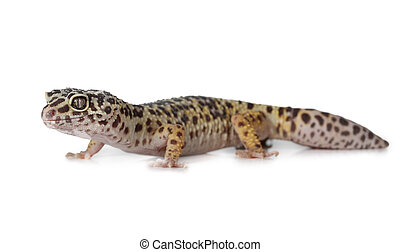 The leopard gecko over white - The leopard gecko...