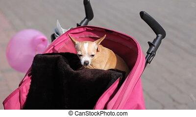 Chihuahua dog in baby pram - frightened chihuahua dog...