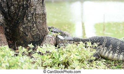 Lizard (Water monitor) is large lizard eating fish - Lizard...
