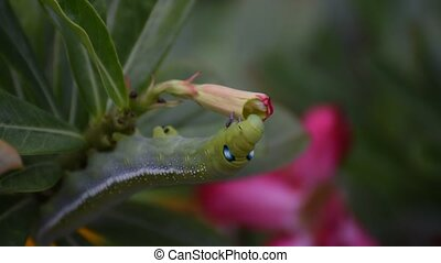 Moth larvae or Caterpillars eat Mock Azalea flower - Moth...