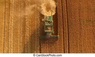 Combine and yellow field. Machine is gathering crops.
