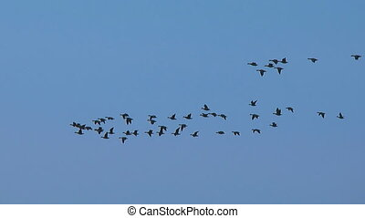 flying birds - geese are mgrating