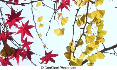 Red maple leaves - Close up red maple leaves in front of...