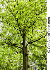beech tree in a forest in Germany