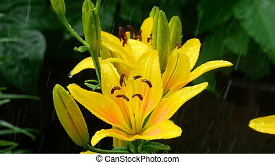 Yellow Lily buds and petals under rain - Raindrops on the...
