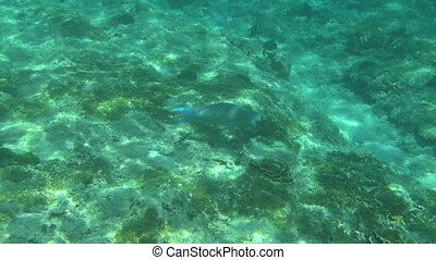 Tropical parrot fish - Tropical underwater world, Similan...