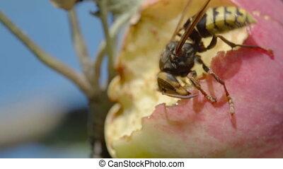 Hornet eats red apple - Hornet eats the flesh of a ripe red...