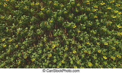 Aerial view of sunflower field. Sunflowers and ground.