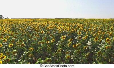 Sunflower field and sky. Yellow sunflowers and horizon. Life...