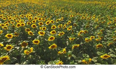 Lots of sunflowers. Sunflower field in summer.