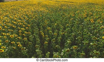 Many yellow sunflowers. Field in summer.