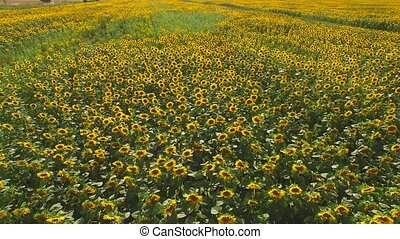 Field of yellow sunflowers. Nature and road.