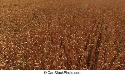Golden ears of wheat. Ripe grain field. Buy a farm.