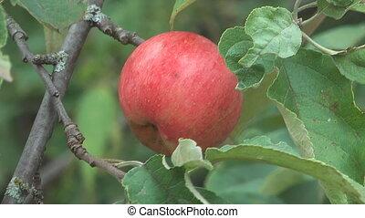 Apple-tree.
