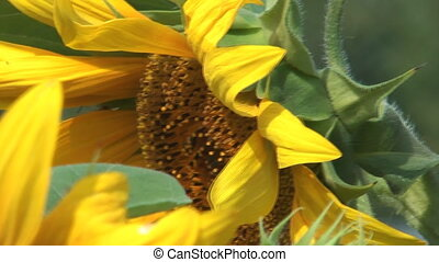 Sunflower - HD 1920x1080 closeup shot of beauty sunflower
