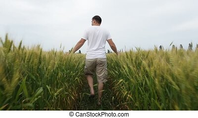 Male farmer walking in the field with wheat and inspects his...