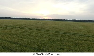 Flight over the wheat field in sunset. Aerial view - Flying...