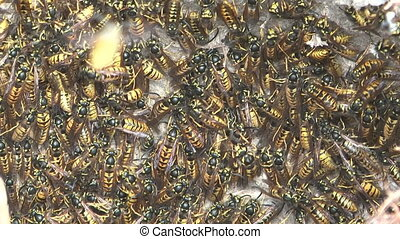 Hornet\'s nest. - HD 1080 zoom out shot of wasps in the...