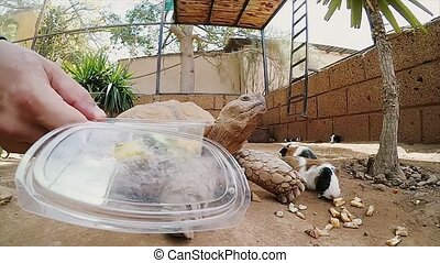 Man and woman try to feed a big turtle. Tortilla in a zoo,...