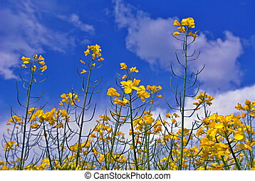 Colza rapeseed field and blue sky