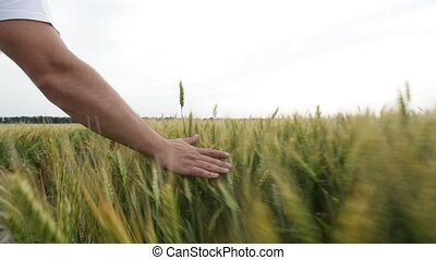 Male hand touching a green wheat ear in the wheat field at sunset.