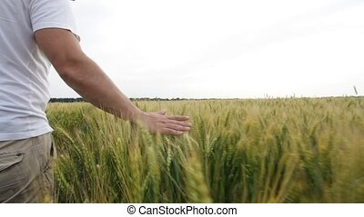Male hand touching a green wheat ear in the wheat field at...