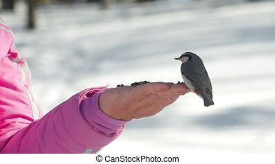 Birds in women's hand eat seeds - Nuthatch birds in women's...