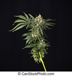 Cannabis stalk (mangolope strain) parcially trimmed isolated...