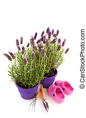 Lavender Stoechas plants in purple flower pot