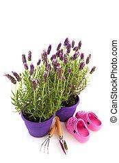 Lavender Stoechas plants in purple flower pot