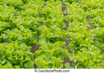 lettuce cultivation on hydroponic system with water and fertilizer in irrgation.