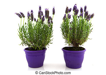 Lavender Stoechas plant in purple flower pot