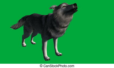 wolf walk - animal green screen footage - animation-wolf...