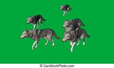 wolfs walk - animal green screen footage - animation-wolfs...